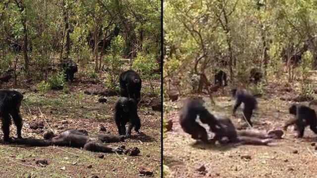 Former Alpha-Chimp Tortured And EATEN After Trying To Make A Comeback To Tribe