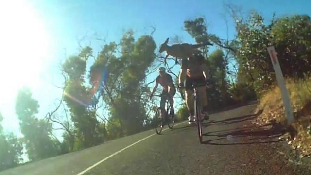 Kangaroo Bounces Over Cyclists Head In Amazing Helmet Cam Footage