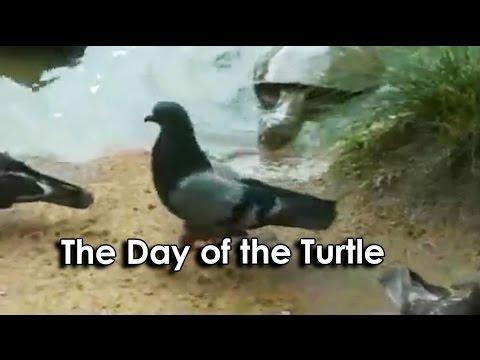 Ozzy Man Reviews: Turtle vs Pigeon
