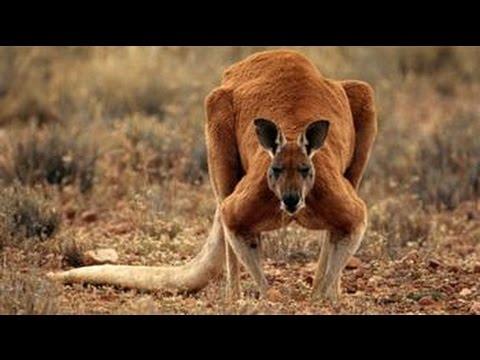Ozzy Man & Mozza Commentate a Kangaroo Fight