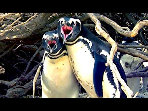 Ozzy Man Reviews: Homewrecker Penguin Fight