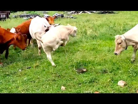 Ozzy Man Reviews: Cows vs Turtle