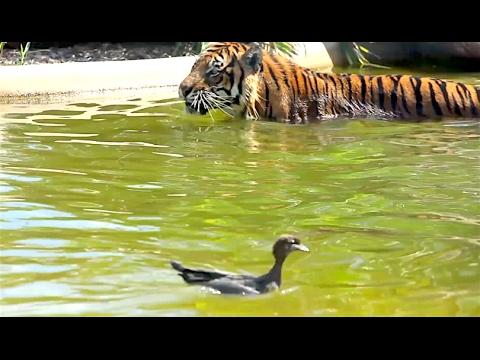 Ozzy Man Reviews: Duck vs Tiger