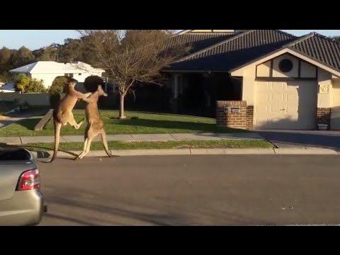 Ozzy Man & Mozza Commentate a Kangaroo Street Fight