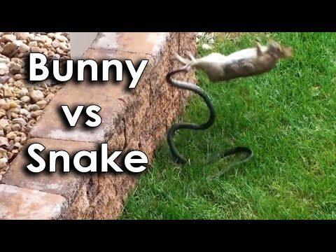 Ozzy Man & Mozza Commentate a Bunny vs Snake