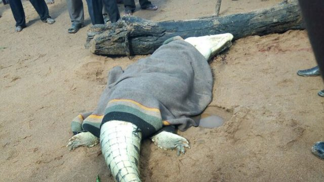 Villagers Cut Open Crocodile To Find Devoured Small Boy Inside