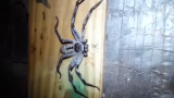 Massive F*ck Off Spider Found In Australia Has A Horrifying Secret