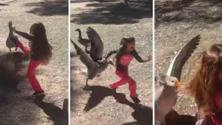 Little Girl Kicks Goose Multiple Times, Goose Goes On Epic Counter-Attack