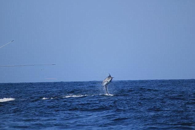 Photo: The Billfish Report, www.billfishreport.com