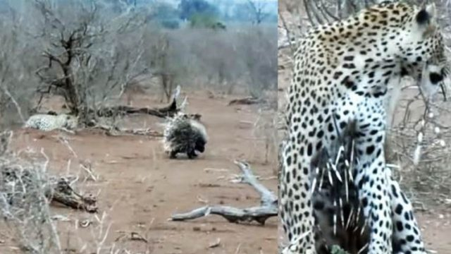Leopard Learns Valuable Lesson About Trying To Attack Porcupines