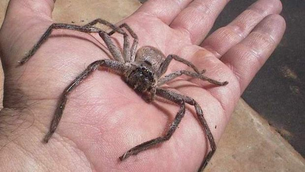 Huge Australian Spider Caught Dragging A Mouse Up A Fridge