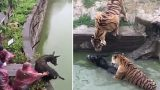 Zoo Feeds Live Donkey To Tigers As Visitors Watch On In Horror