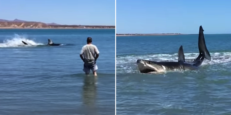 Fella Gets extremely Close To Massive Great White Shark As It Hunts In The Shallows