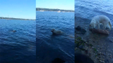 Hero Dog Swims Out And Rescues Deer From Drowning In Harbor