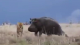 Lion Attempts To Attack Hippo, Immediately Regrets It