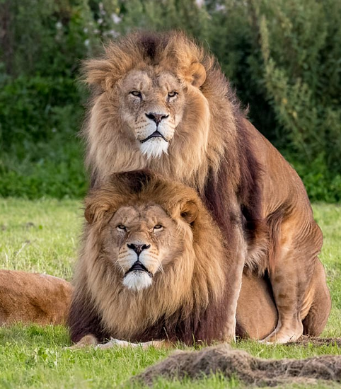 Lion love is lion love. (Credit: Russ bridges/Daily Mail)