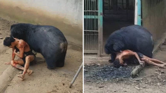 Tourist Who Teased Bear By Dangling Food Just Out Of Reach Gets Caught And Mauled To Sh*t