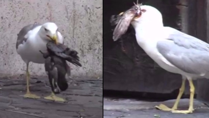 Badass Seagull Swallows A Pigeon Whole After Pecking The Sh*t Out Of It