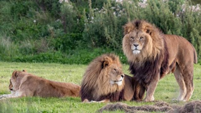 These Two Male Lions Appear To Be 'Getting It On' As Confused Lioness Watches