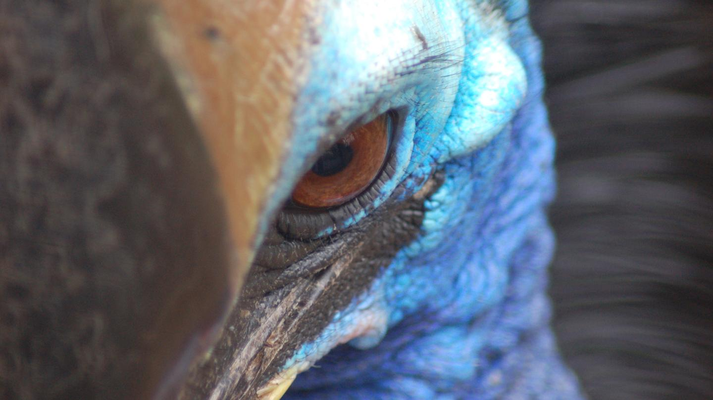 Why The World's Deadliest Bird Keeps Breaking Into People's Houses