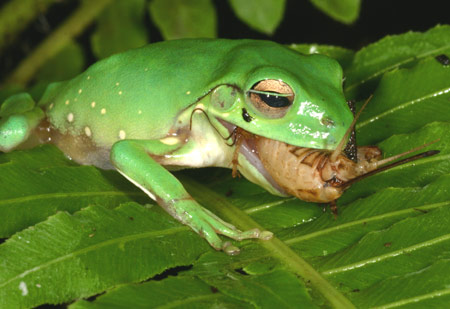 Most frogs stick to things like crickets. Credit: Amphibian Research Centre
