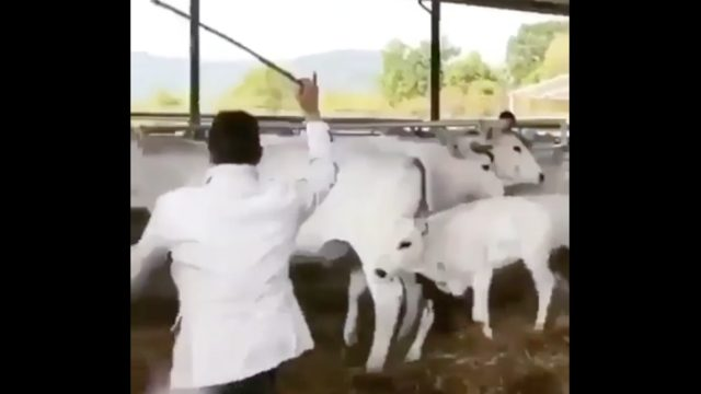 Cow Drop Kicks A Man For Hitting Another Cow, Becomes Internet Hero