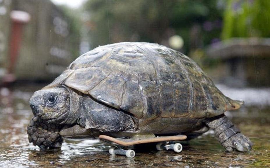 This three-legged tortoise on a tech-deck would kick our internet's arse. Credit: Richard Austin.