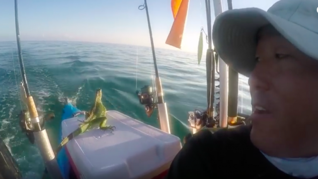 Top Bloke Finds Iguana 4 Miles Out to Sea, Takes Him To Safety