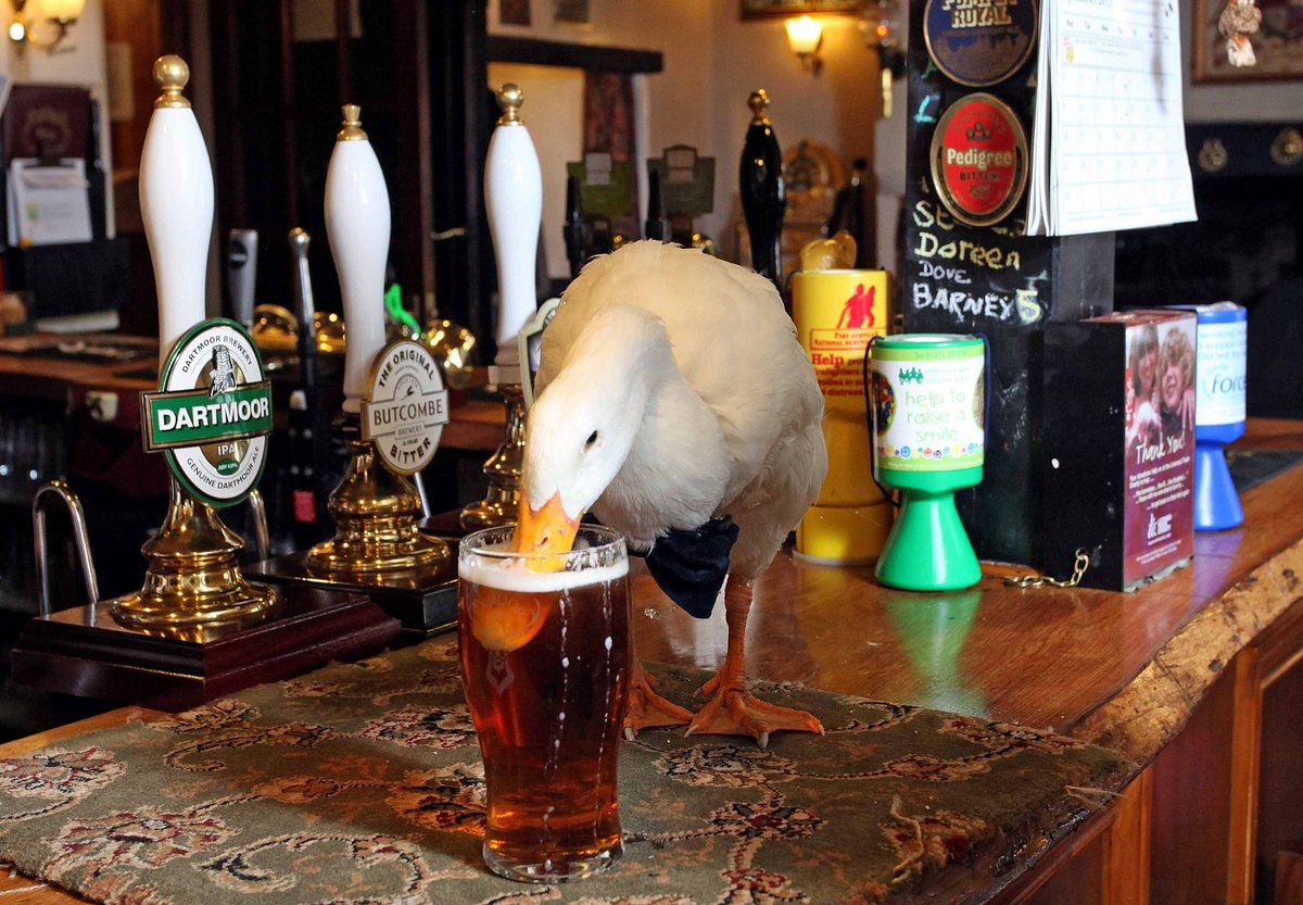 This Duck Is A Regular At The Pub, He Drinks Pints & Picks Fights