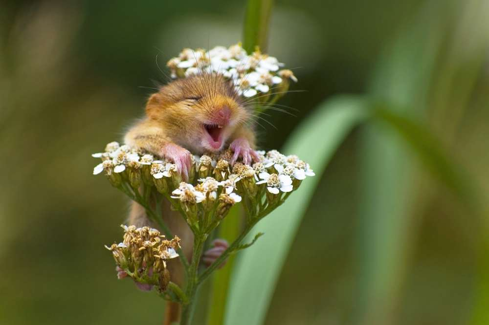 Oh wow, look at this little dormouse. What a cutie! PHOTOGRAPH BY Andrea Zampatti / CWPA / Barcroft Images