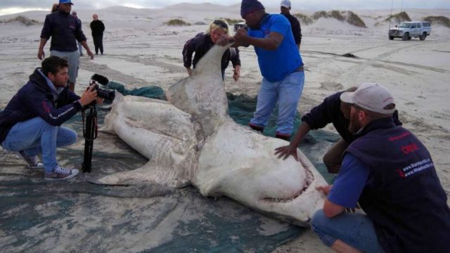 Dead Sharks Are Washing Up With Their Livers Removed