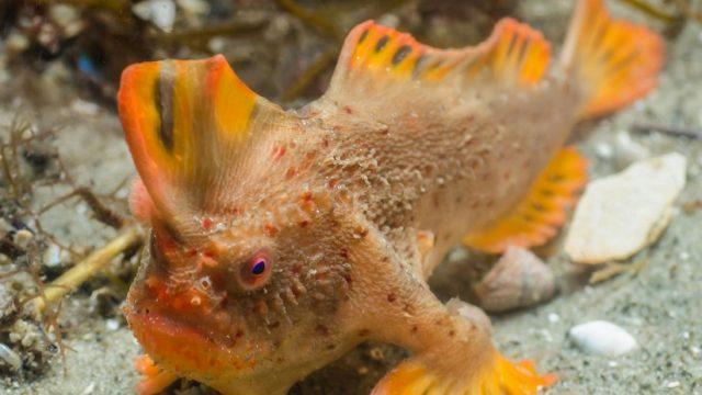 Rare Fish With Hands Found Off Tasmanian Coast