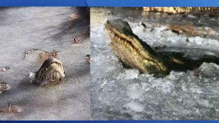 Here's The Survival Mechanism That Allows Alligators To Live In Freezing Ponds