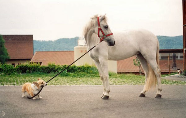Another corgi trying to take a horse for a ride...