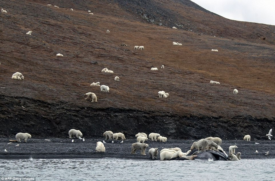 You can see how hungry some of them are. It's a shame the food will only last them a short period of time. Credit: A.Gruzdev/Wrangel Island State Nature Reserve