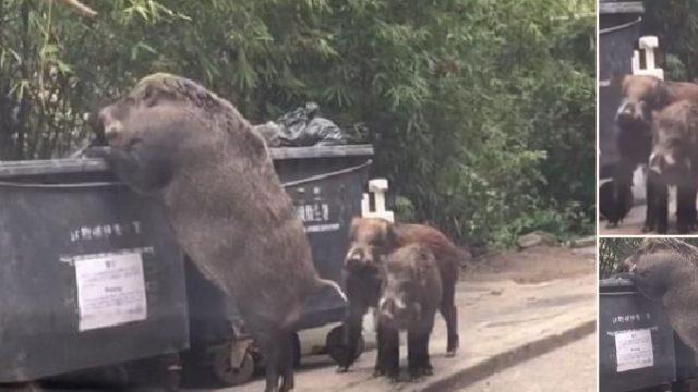 Huge Wild Boar Caught Rummaging Through a Bin