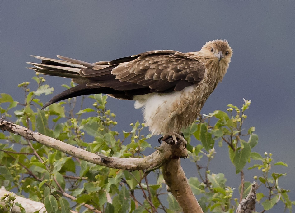 The whistling kite. A self-inflicted, mind detonator, and of course, twisted fire-starter. Credit: Wikipedia