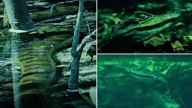 Giant Anaconda Ambushes Crocodile Underwater and Swallows It Whole