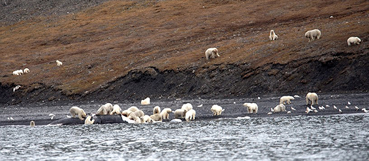 The circle of life. Credit: A.Gruzdev/Wrangel Island State Nature Reserve