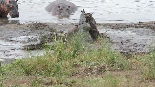Hippos save a wilderbeast from the clutches of two crocs in South Africa