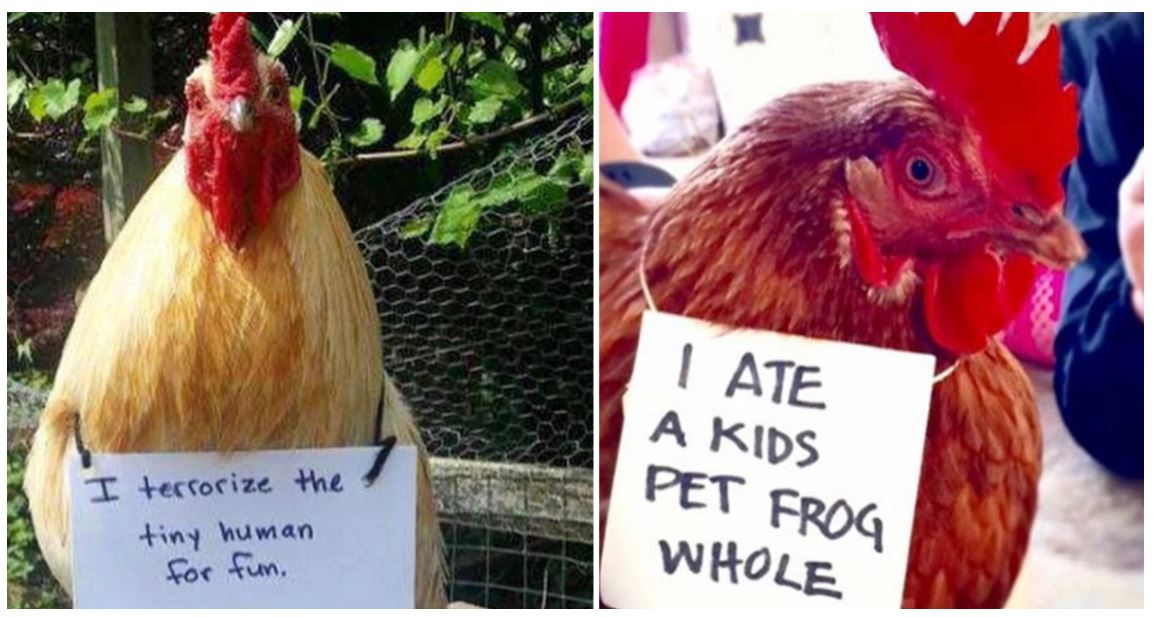 """An eggcellent collection of photos from farmers """"cock-shaming"""" their chickens"""