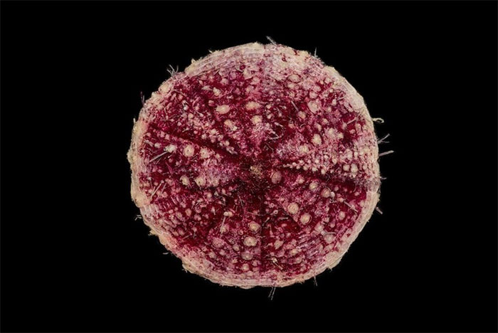 Pancake urchin. Credit: Museums Victoria