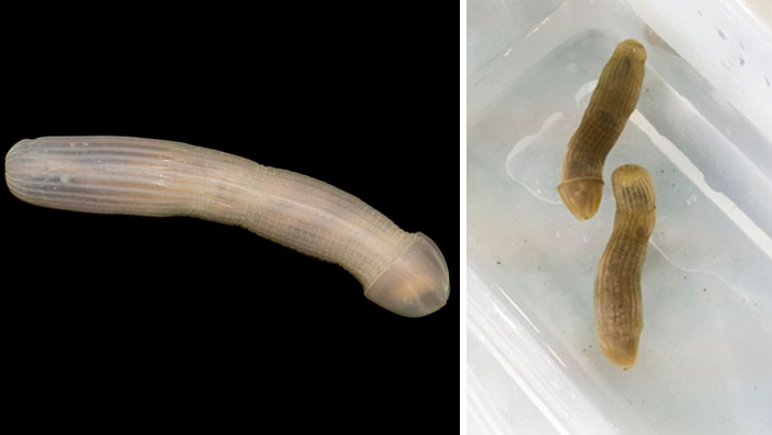 Peanut worm. Snigger. Credit: Museums Victoria
