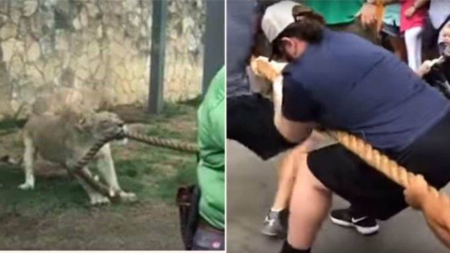 Three Pro-Wrestlers battle a male lion in tug of war