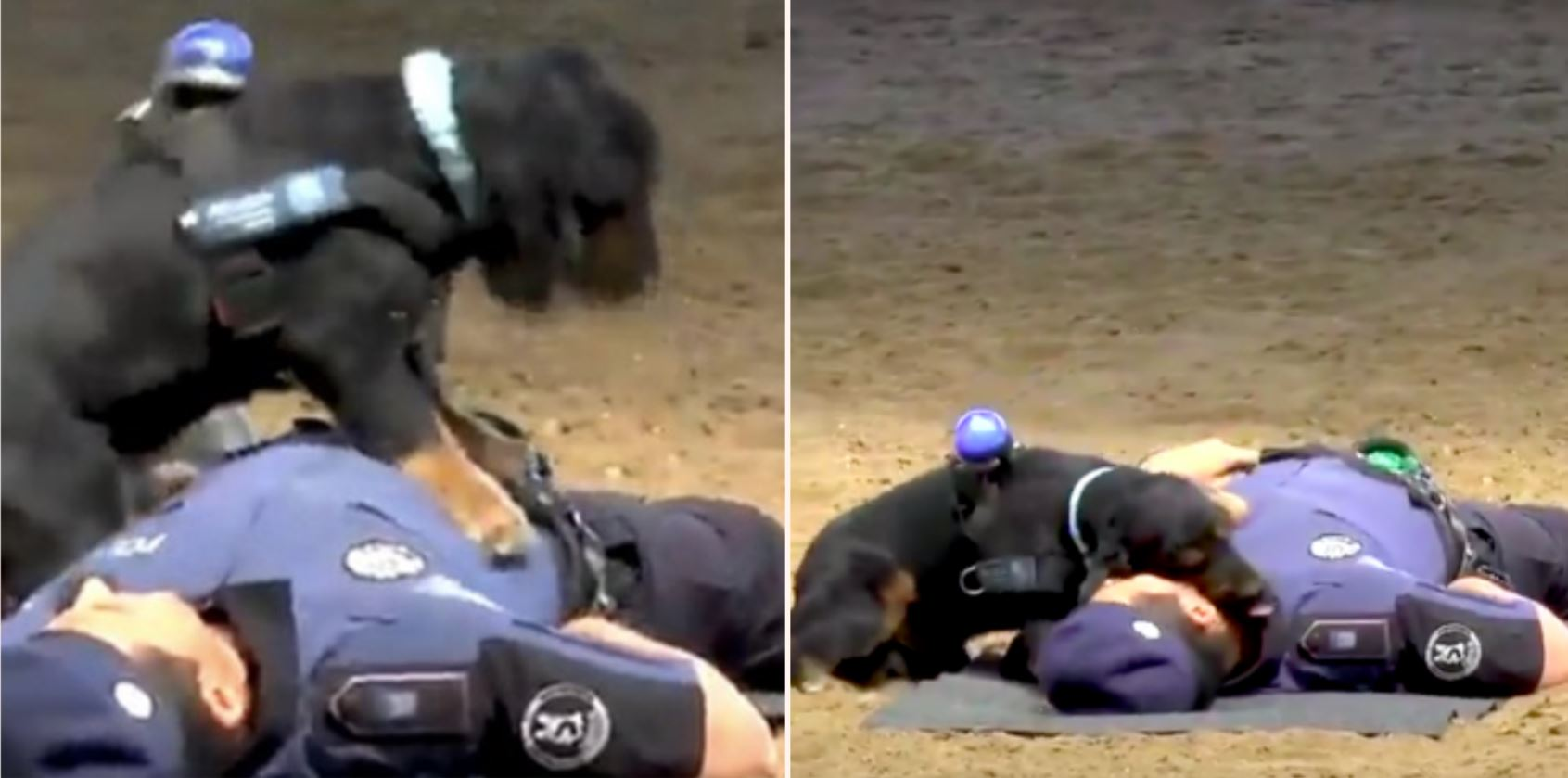 Police Dog performs CPR on police offer
