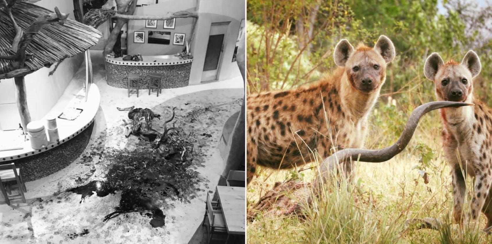 14 hyenas kill kudu bull in African Safari camp reception