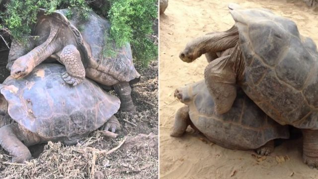 Diego the randy tortoise has f**ked so much he's single-handedly saved his entire species