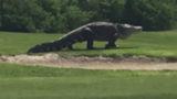 Big F*ck Off Alligator casually strolls across golf course