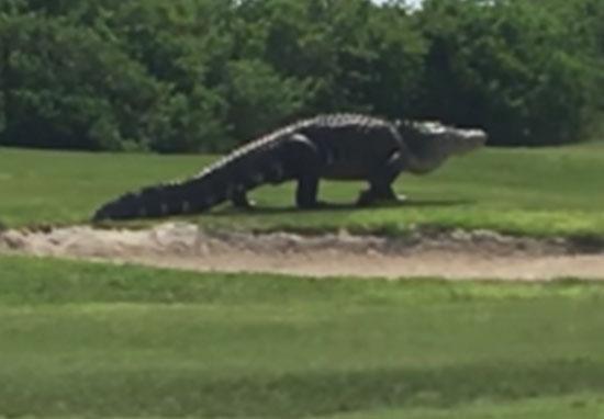 Big F*ck Off Alligator casually strolls across golf course