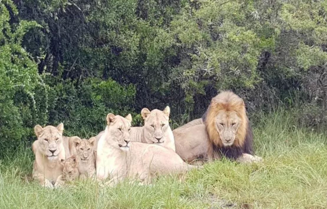 They met the pride of the park. The mane attraction, if you will. Credit: Sibuya Game Reserve
